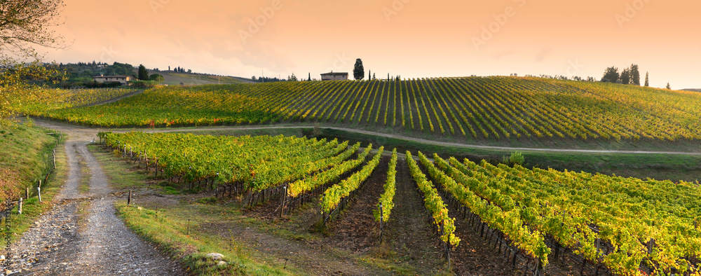 Rows of yellow vineyards at sunset in Chianti region near Florence during the colored autumn season. Tuscany in Italy