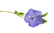 Vinca Flower Isolated