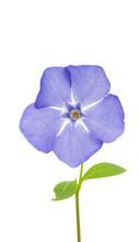 Vinca Flower Isolated