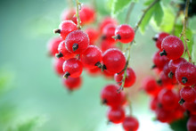 Ripe Redcurrant Or Red Currant...