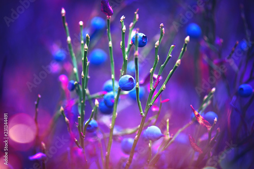 Autumn blueberries. Juicy and fresh wildberry growing in forest. Organic blueberry nature background