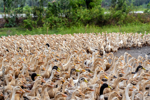 Photo  A lot of ducks in vietnam, industry farm concept