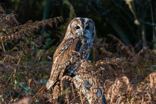 Tawny Owl Brown Owl Strix Aluco