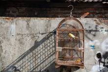 Singing Bird In Traditional Cage Indonesia