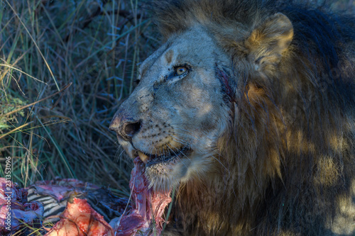 Photo Lion Feeding on a Kill