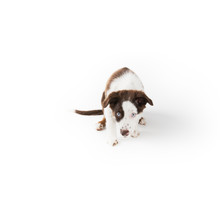 Sweet Puppy Isolated On White