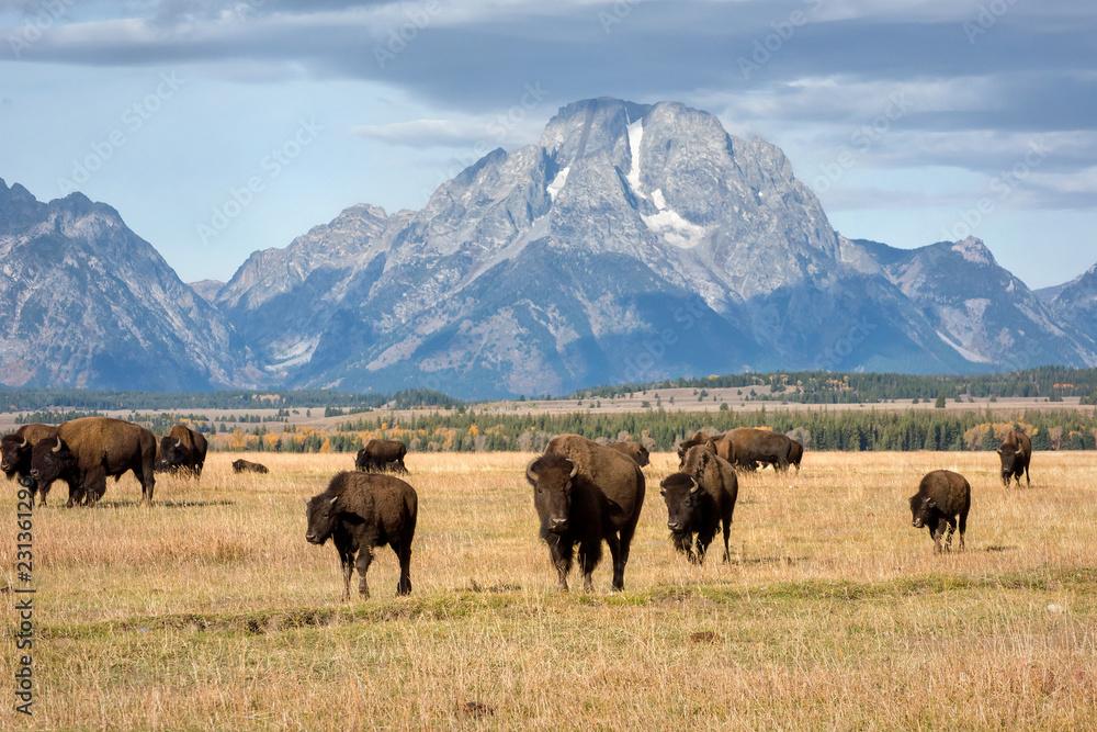 Fototapeta Tetons and Bison Herd in Fall