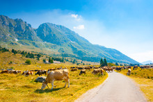 Cows Grazing Alongside The Road In Montasio Plateau