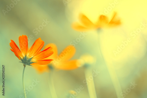 Poster Jaune de seuffre Delicate flowers of coral color in the sunlight on a blurred natural background. Soft, selective focus. Art image.