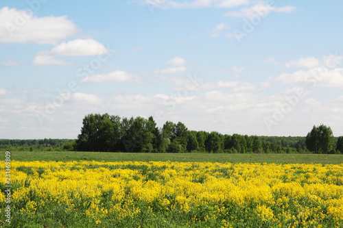 Poster Platteland Field of rapeseed in Kostroma region, Russia