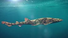 Chain Catshark (Scyliorhinus R...