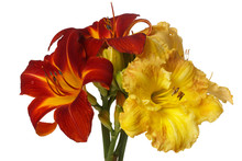 A Bouquet Of Flowers Of Red And Yellow Daylily Flower On Isolated On White Background.