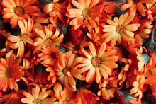 Calendula Dried Flowers Herbs Or Marigold Scattered, Top View, Selective Fosuc