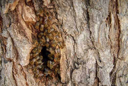 Fotografie, Obraz  Bees collect honey in a wild beehive in the hollow of a tree.