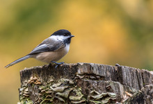 Black-capped Chickadee At Tylee Marsh, Rosemere, Quebec, Canada