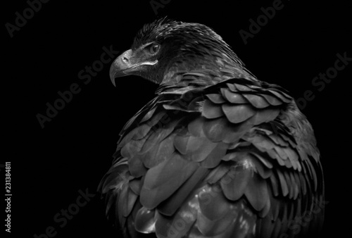 Photo  Steppenadler (Aquila nipalensis)