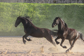 Frisian horses are energetic and playful, jumping and running