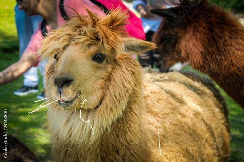 Fotografie, Obraz  Nahaufnahme eines Alpaka