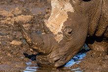 Portrait Of A White Rhinoceros Drinking Water In The Mokala National Park In South Africa