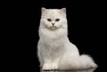 Adorable British Breed Cat Whi...