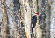 Pileated Woodpecker In A Boreal Forest Quebec Canada In Mid Winter.