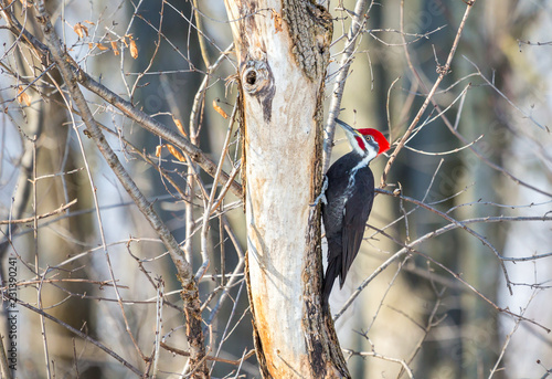 Photo  Pileated woodpecker in a boreal forest Quebec Canada in mid winter