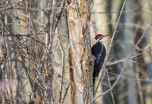 Pileated woodpecker in a boreal forest Quebec Canada in mid winter Canvas Print