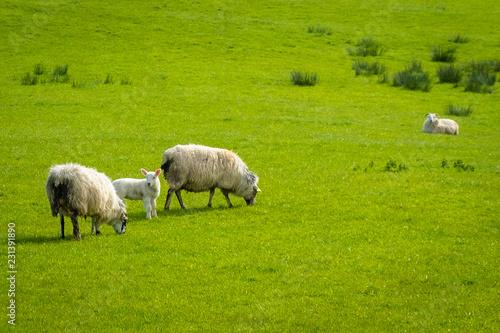 Staande foto Schapen Schafe und Lämmer auf Irlands saftigen grünen Wiesen