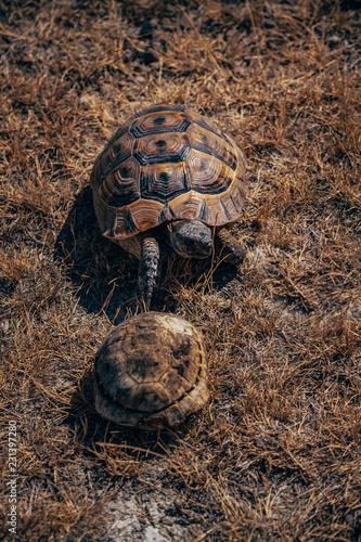 Foto op Aluminium Schildpad Mediterranean Turtle on Dry Grass in Summer at Turkey