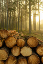 Real Is Beautiful. Fresh Early Morning Mist In The Forest. Beautiful Sunrise In The Woods Cutting Area With A Fog. Felling Of Trees. Cut Trees In A Row. Forest Protection Concept.