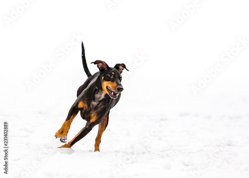 Papel de parede Manchester terrier running in a playground Quebec, Canada.
