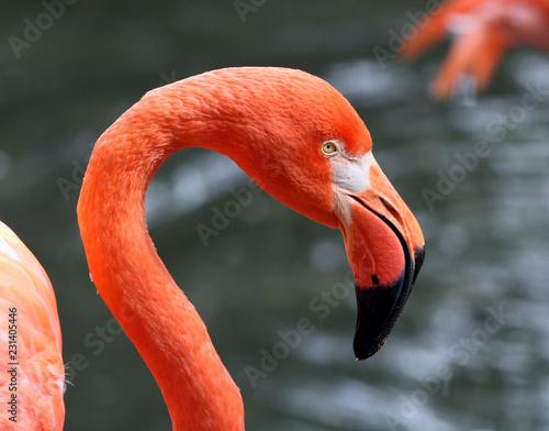 Spoed Foto op Canvas Flamingo A Pink Flamingo close up