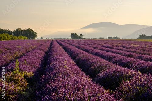 Poster Crimson Champ de lavande en Provence, France. Plateau de Valensole. Lever de soleil, brume de matin.