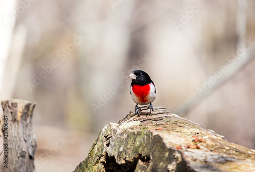 Photo  Rose breasted grossbeak male feeding on a stump in a boreal forest Quebec, Canada