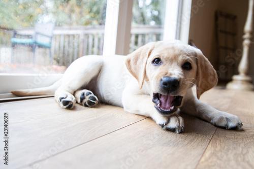 Photo Cute young yellow labrador puppy