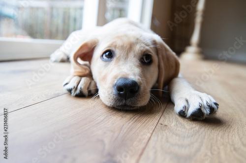 Obraz Cute young yellow labrador puppy - fototapety do salonu