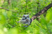 Great Horned Owlet Deep In A Boreal Forest Quebec, Canada.