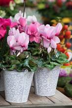 Closeup Of Pink Cyclamen In Th...