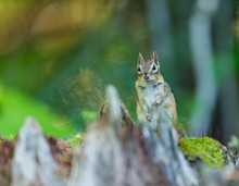 Chipmunk Searching For Food In...