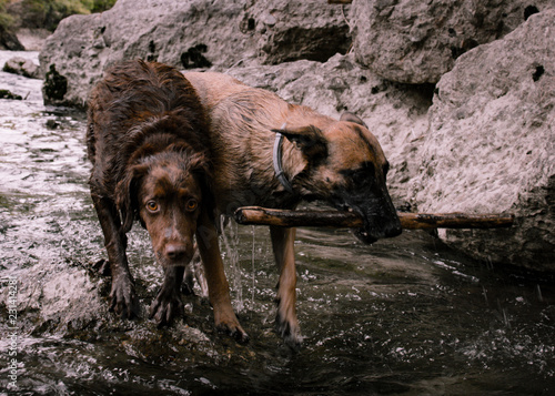 Fotografie, Obraz  Hunting dogs, looking for a prey in the middle of the river.
