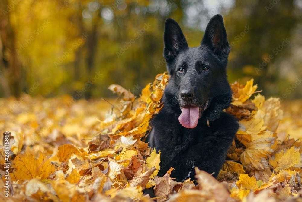 Fototapeta Pies, czarny owczarek niemiecki leżący w liściach w jesiennym parku
