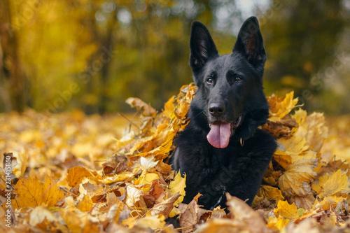 Fototapeta Pies, czarny owczarek niemiecki leżący w liściach w jesiennym parku obraz