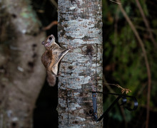 Northern Flying Squirrel Also ...