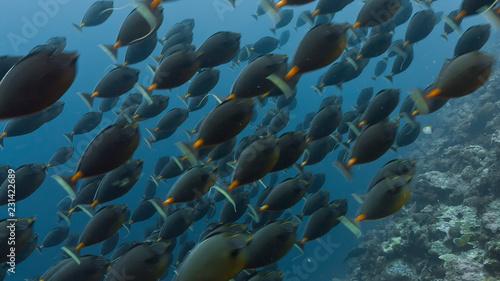 Spawning aggregation of Orange-spine Surgeonfish Canvas Print
