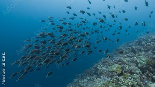 Photo Spawning aggregation of Orange-spine Surgeonfish