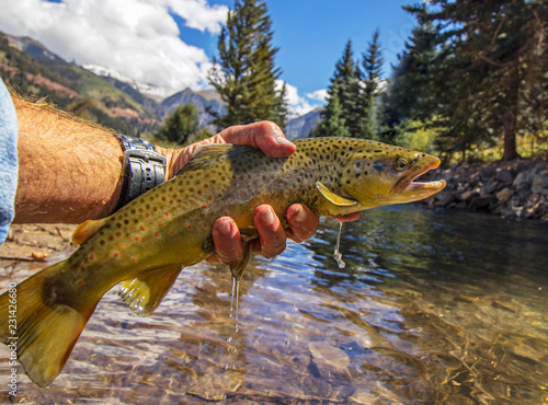 Fototapeta Brown trout caught and released fly fishing in Colorado