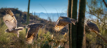 Great Horned Owl In Sonoran De...
