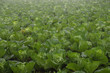 Close up to fresh white cabbage in harvest field, Cabbage are growing in garden, Organic vegetable background