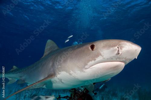 Fotografie, Obraz  Tiger Shark
