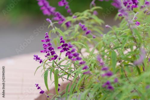 Foto op Canvas Lavendel アメジストセージ